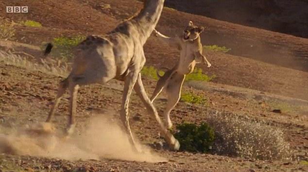 """Sư tử """"chịu nhục"""" vì bị hươu cao cổ đạp ngã dúi dụi - 1"""