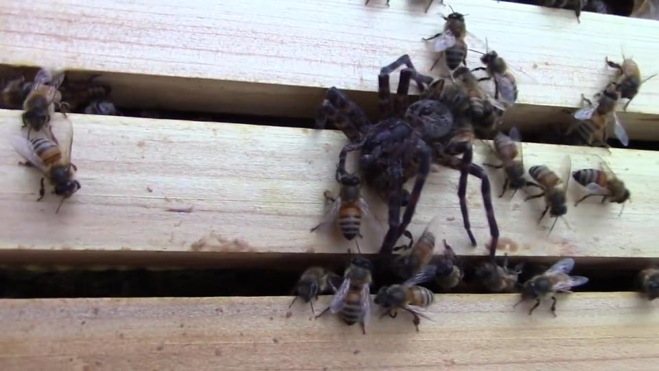 Nhện khổng lồ mạo hiểm đi săn ong gặp kết cục bất ngờ - 1