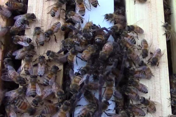 Nhện khổng lồ mạo hiểm đi săn ong gặp kết cục bất ngờ - 2