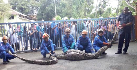 Malaysia: Bắt mãng xà khổng lồ 100 kg nuốt chửng con dê - 1