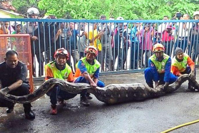 Malaysia: Bắt mãng xà khổng lồ 100 kg nuốt chửng con dê - 2