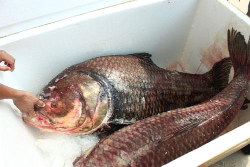 """Cặp cá """"khủng"""" về HN, gần 4 triệu đồng/kg vẫn đắt hàng - 2"""