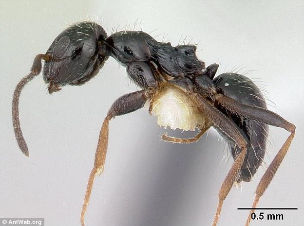 Siêu bầy đàn kiến làm tổ 38 km, có thể xâm chiếm thế giới - 1