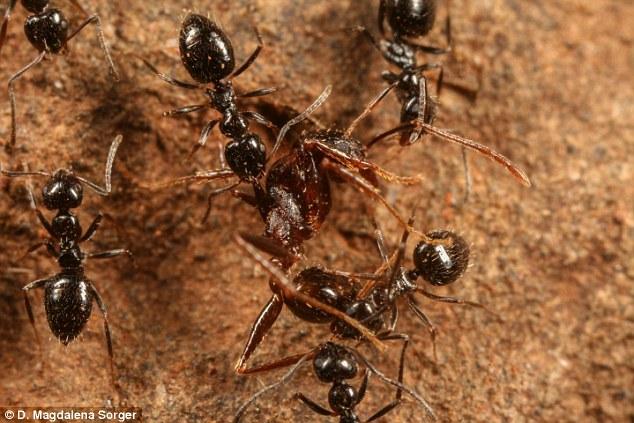 Siêu bầy đàn kiến làm tổ 38 km, có thể xâm chiếm thế giới - 2