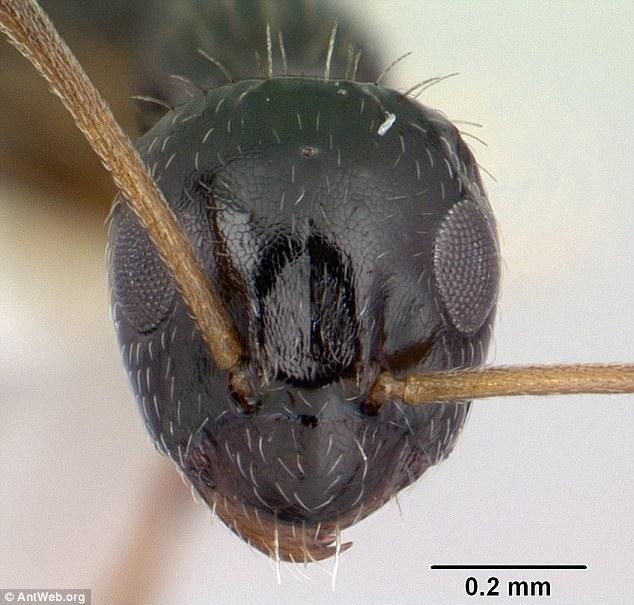 Siêu bầy đàn kiến làm tổ 38 km, có thể xâm chiếm thế giới - 3