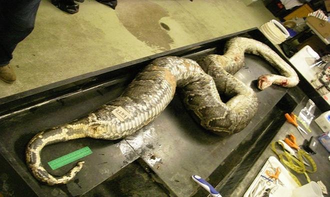 Mỹ: Mổ trăn khổng lồ dài 5m phát hiện xác 3 con hươu - 1