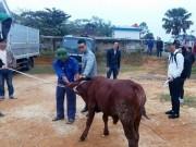 Đời sống Showbiz - Phan Anh mang bò tặng người dân vùng lũ miền Trung