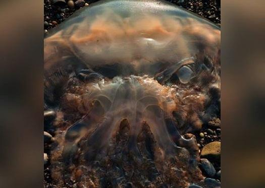 """Con sứa kinh dị trông như """"ác mộng"""" dạt bờ biển Scotland - 1"""