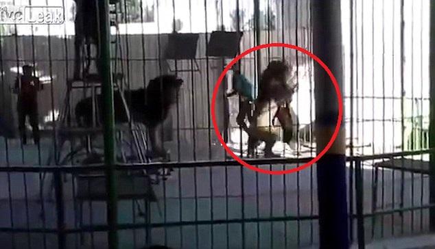 Sư tử bất ngờ cắn cổ huấn luyện viên ở rạp xiếc Ai Cập - 1