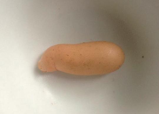 Kỳ lạ quả trứng gà giống… con heo - 1