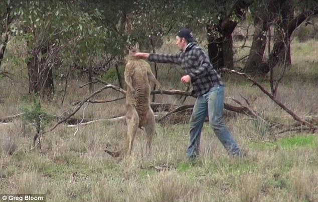 Thanh niên Úc đấm vào mặt kangaroo, giải cứu chó cưng - 2