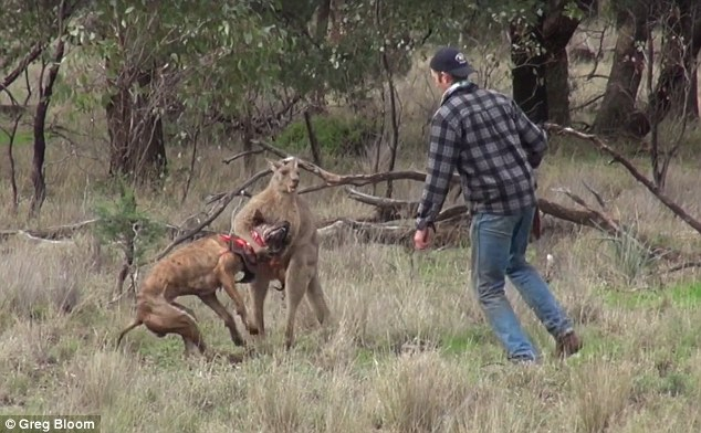 Thanh niên Úc đấm vào mặt kangaroo, giải cứu chó cưng - 1