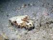 Xem bạch tuộc ngụy trang dưới đáy biển trong tích tắc