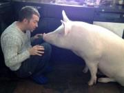 Truyện cười: Cuộc tình sét đánh nuôi cả đàn lợn