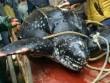 Rùa biển quý hiếm nặng 4 tạ bị dân Trung Quốc xẻ thịt