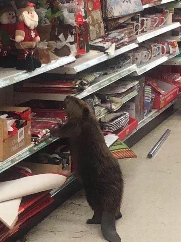 """Mỹ: Hải ly vào siêu thị để """"mua sắm"""" đồ Giáng sinh - 1"""