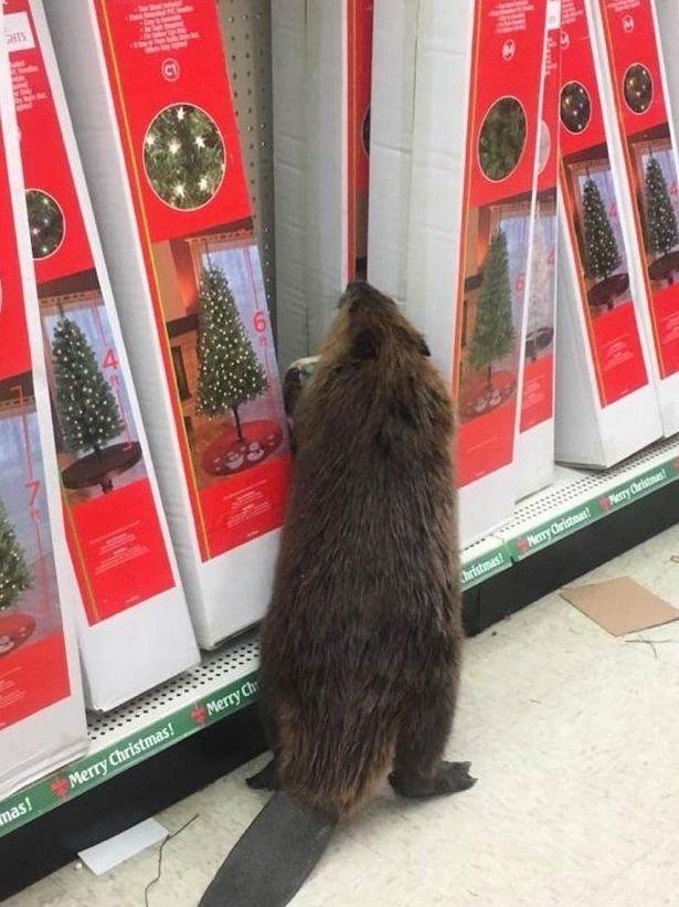 """Mỹ: Hải ly vào siêu thị để """"mua sắm"""" đồ Giáng sinh - 2"""