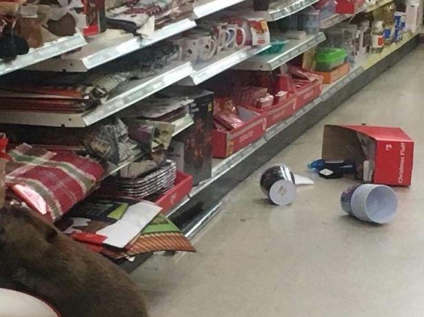 """Mỹ: Hải ly vào siêu thị để """"mua sắm"""" đồ Giáng sinh - 4"""