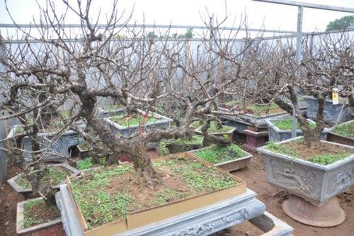 Vườn đào Nhật Tân bạc tỷ lắp điều hòa để bung hoa đúng Tết - 1