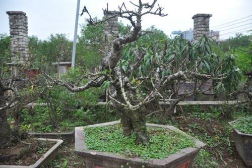 Vườn đào Nhật Tân bạc tỷ lắp điều hòa để bung hoa đúng Tết - 2