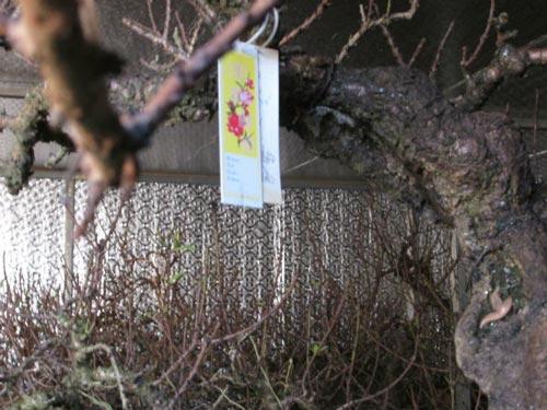 Vườn đào Nhật Tân bạc tỷ lắp điều hòa để bung hoa đúng Tết - 3