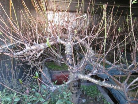 Vườn đào Nhật Tân bạc tỷ lắp điều hòa để bung hoa đúng Tết - 4
