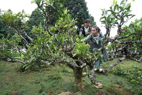 Vinatea: Đánh thức vẻ đẹp và quyền năng của trà Việt - 2