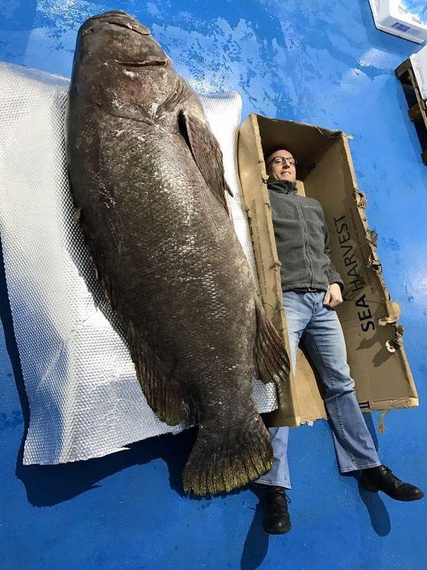 """Anh: Câu được cá mú khổng lồ, """"khủng"""" nhất trong 30 năm - 2"""
