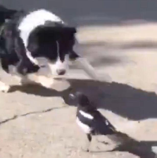 Video: Chó hùng hục đuổi theo chim và kết cục sửng sốt - 1
