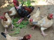 Thị trường - Tiêu dùng - Gần Tết, gà Đông Tảo giá 10 triệu đồng/con vẫn hút khách