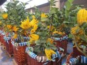 Tin tức trong ngày - Phật thủ bonsai giá hàng chục triệu ở làng Đắc Sở