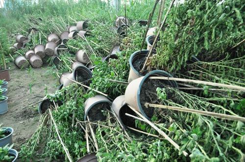 Hoa Tết không kết nụ, chủ vườn ở Sài Gòn khóc ròng - 1