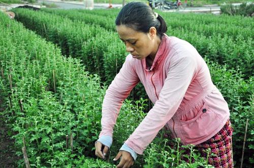 Hoa Tết không kết nụ, chủ vườn ở Sài Gòn khóc ròng - 3