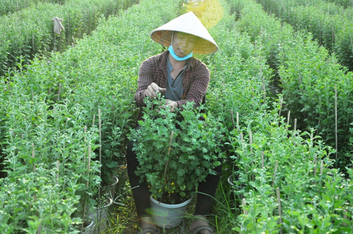 Hoa Tết không kết nụ, chủ vườn ở Sài Gòn khóc ròng - 9