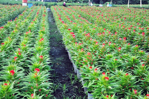 Hoa Tết không kết nụ, chủ vườn ở Sài Gòn khóc ròng - 15