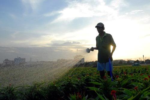 Hoa Tết không kết nụ, chủ vườn ở Sài Gòn khóc ròng - 16
