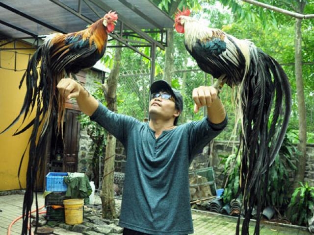 Chiêm ngưỡng gà đuôi dài 2m, giá hàng chục triệu đồng