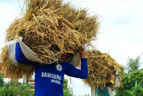 Năm u ám của xuất khẩu gạo - 1