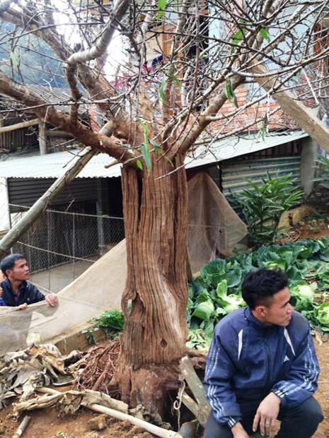 Chiêm ngưỡng cây đào mọc từ thân cây cổ thụ hiếm thấy - 2