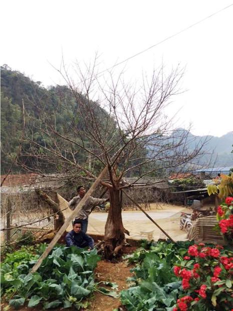 Chiêm ngưỡng cây đào mọc từ thân cây cổ thụ hiếm thấy - 3