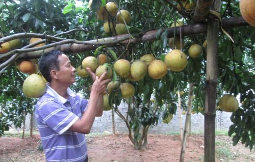Làm giàu ở nông thôn: Trồng có 128 cây bưởi đỏ thu 600 triệu đồng/năm - 1