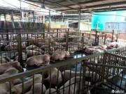 Thị trường - Tiêu dùng - Sẽ tiêu huỷ gần 3800 con heo bị tiêm thuốc an thần tại TP.HCM
