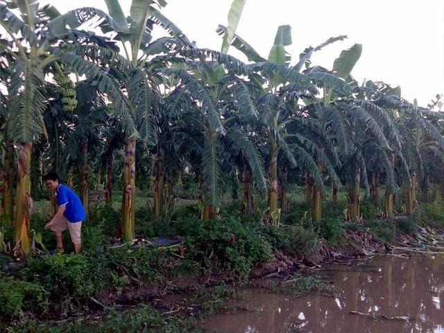 """Kiếm 450 triệu/năm nhờ """"độc chiêu"""" trồng chuối tây Thái Lan bán cả lá, hoa, quả - 2"""