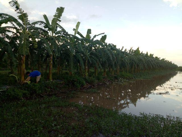 """Kiếm 450 triệu/năm nhờ """"độc chiêu"""" trồng chuối tây Thái Lan bán cả lá, hoa, quả - 3"""
