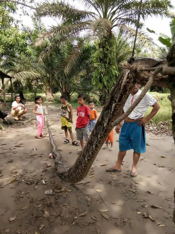 Indonesia: Người đàn ông tử chiến với trăn khổng lồ dài 7m - 3