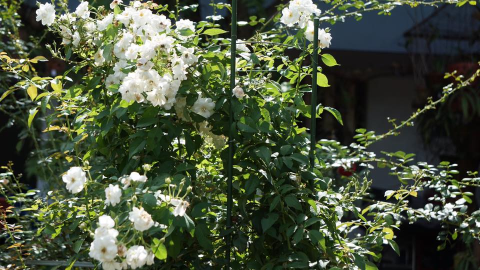 Ban công nhỏ xinh thơm ngát hoa hồng của của ông bố đảm ở Yên Bái - 2