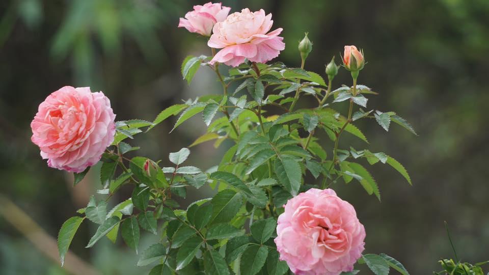 Ban công nhỏ xinh thơm ngát hoa hồng của của ông bố đảm ở Yên Bái - 3