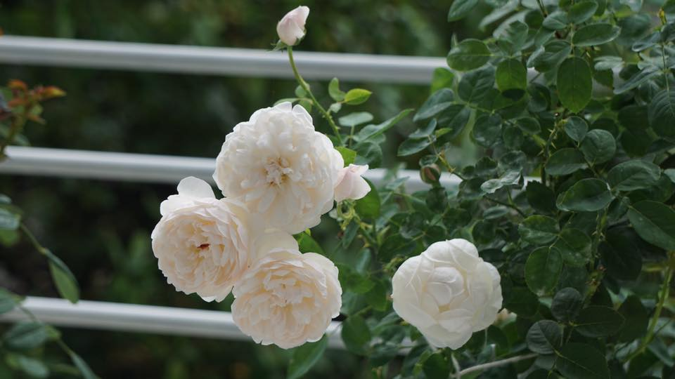 Ban công nhỏ xinh thơm ngát hoa hồng của của ông bố đảm ở Yên Bái - 7