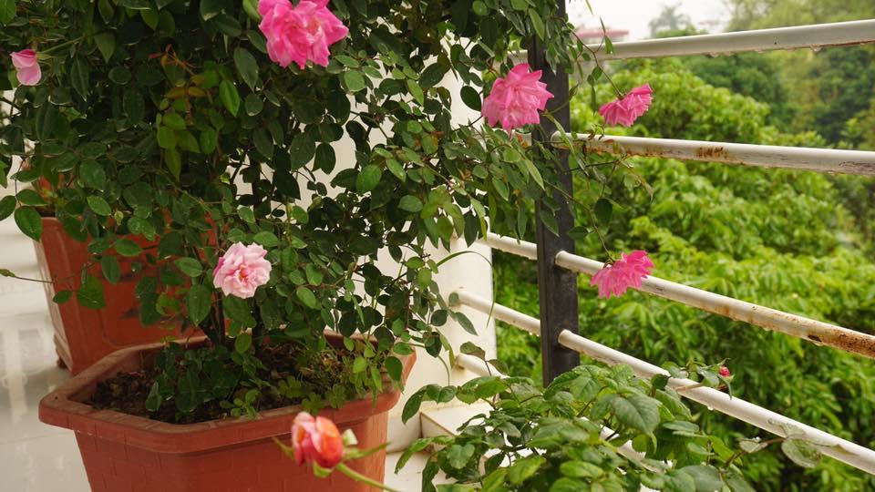 Ban công nhỏ xinh thơm ngát hoa hồng của của ông bố đảm ở Yên Bái - 6