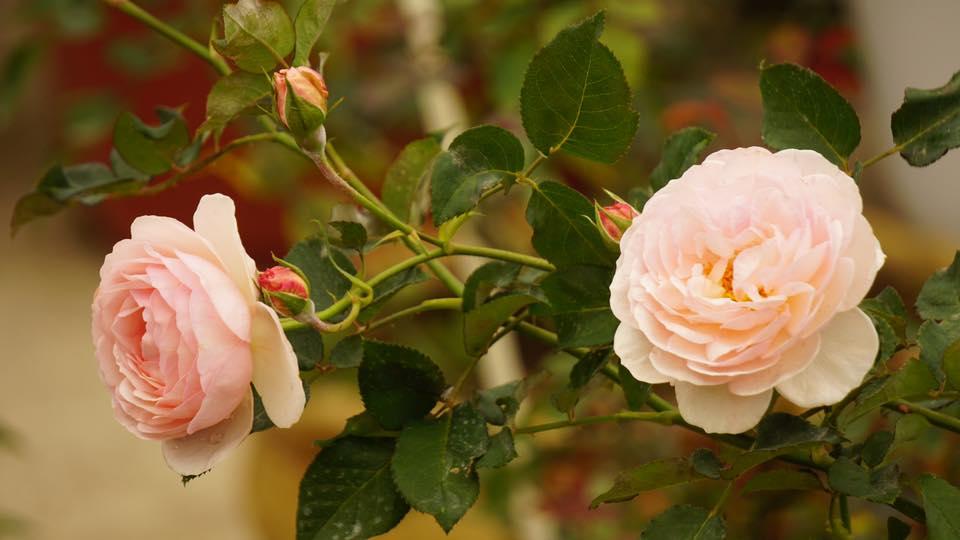 Ban công nhỏ xinh thơm ngát hoa hồng của của ông bố đảm ở Yên Bái - 9
